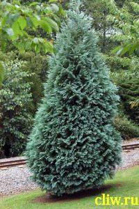 Кипарисовик лавсона (chamaecyparis lawsoniana) кипарисовые (cupressaceae) alumii