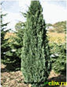 Кипарисовик лавсона (chamaecyparis lawsoniana) кипарисовые (cupressaceae) elwoodii