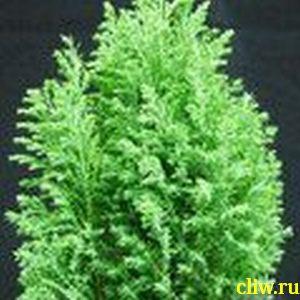 Кипарисовик лавсона (chamaecyparis lawsoniana) кипарисовые (cupressaceae) ellwood's gold