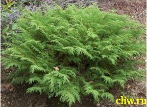 Микробиота перекрестнопарная (microbiota decussata) кипарисовые (cupressaceae)