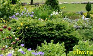 Ель обыкновенная (picea abies) сосновые (pinaceae) nidiformis