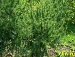 Лиственница европейская (larix ) сосновые (pinaceae) kornik