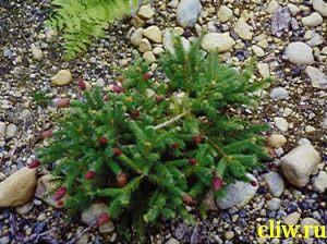 Ель обыкновенная (picea abies) сосновые (pinaceae) pusch