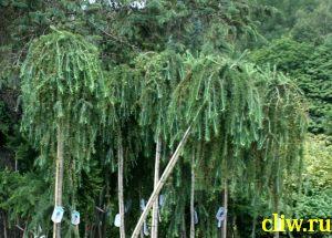 Лиственница европейская (larix decidua) сосновые (pinaceae) pendula