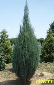 Можжевельник скальный (juniperus scopulorum) кипарисовые (cupressaceae) skyrocket