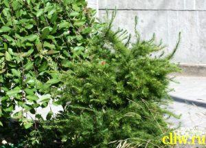 Лиственница кэмпфера (larix kaempferi) сосновые (pinaceae) diana