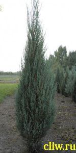 Можжевельник скальный (juniperus scopulorum) кипарисовые (cupressaceae) blue arrow