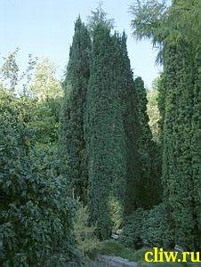 Тис ягодный (taxus baccata) тисовые (taxaceae)