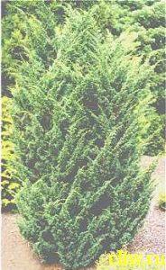 Можжевельник средний (juniperus media)  (cupressaceae) blaauw