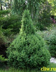 Ель  (picea ) сосновые (pinaceae) conica