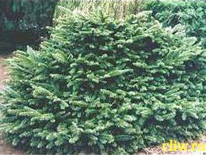 Ель  (picea ) сосновые (pinaceae) procumbens