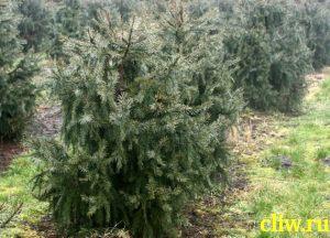 Ель бревера (picea breweriana) сосновые (pinaceae)
