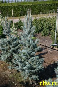 Ель колючая (picea pungens) сосновые (pinaceae) iseli fastigiate