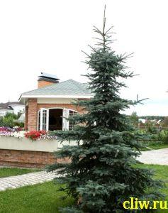 Ель канадская (picea glauca) сосновые (pinaceae) glauca