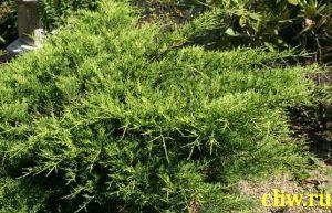 Можжевельник средний (juniperus media) кипарисовые (cupressaceae) old gold