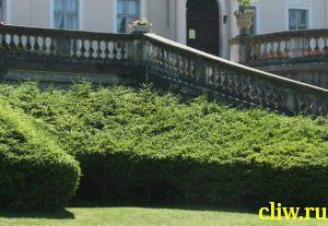 Ель обыкновенная (picea abies) сосновые (pinaceae)
