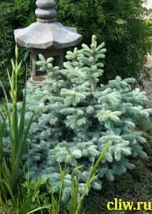 Ель колючая (picea pungens) сосновые (pinaceae) glauca globosa