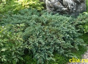 Можжевельник чешуйчатый (juniperus squamata) кипарисовые (cupressacaea) blue carpet