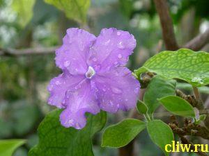 Брунфельсия малоцветковая (brunfelsia pauciflora var. calycina) пасленовые (solanaceae)