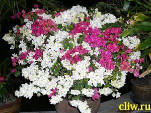 Бугенвиллея голая (bougainvillea glabra) никтагиновые (nictaginaceae)