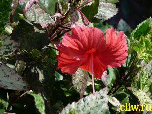 Гибискус китайский (hibiscus rosa-sinensis) мальвовые (malvaceae) cooperi