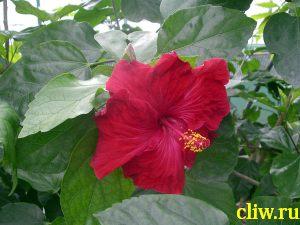 Гибискус китайский (hibiscus rosa-sinensis) мальвовые (malvaceae)