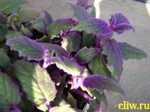 Гинура оранжевая (gynura aurantiaca) астровые (asteraceae)
