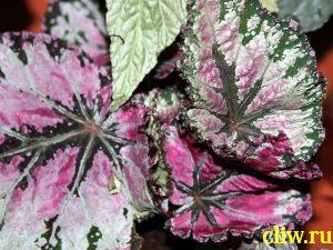 Бегония королевская (begonia rex) бегониевые (begoniaceae) helen lewis