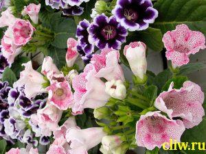 Глоксиния гибридная (sinningia hybrida ) геснериевые (gesneriaceae)