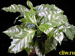 Кофе арабский (coffea arabica) мареновые (rubiaceae)