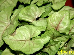 Сингониум стополистный (syngonium podophyllum) ароидные (araceae) exotic allusion