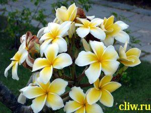 Плюмерия красная (plumeria rubra) кутровые (apocynaceae)