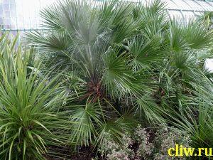 Хамеропс приземистый (chamaerops humilis) пальмовые (recaceae)