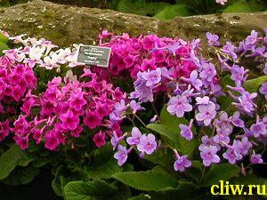 Стрептокарпус гибридный (streptocarpus hybridus ) геснериевые (gesneriaceae)