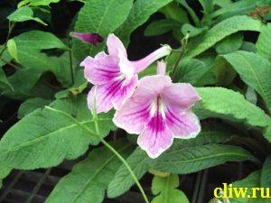 Стрептокарпус гибридный (streptocarpus hybridus) геснериевые (gesneriaceae)