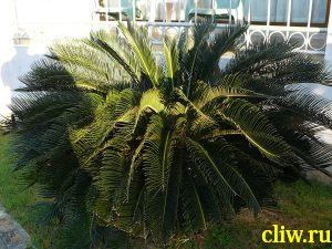 Цикас отвернутый (cycas revoluta) саговниковые (cycadaceae)