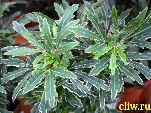 Дизиготека изящнейшая (dizygotheca elegantissima) аралиевые (araliaceae) bianca