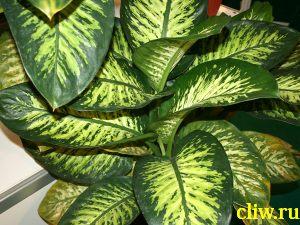 Диффенбахия прелестная (dieffenbachia amoena) ароидные (araceae) tropic snow
