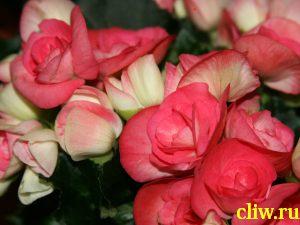 Бегония клубневая (begonia tuberhybrida) бегониевые (begoniaceae)