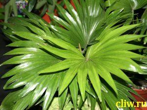 Ливистона круглолистная (livistona rotundifolia) пальмовые (arecaceae)
