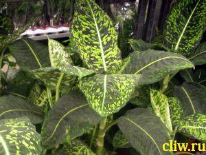 Диффенбахия раскрашенная (dieffenbachia picta) ароидные (araceae) exotica