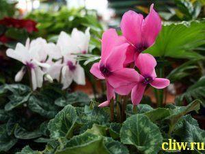 Цикламен персидский (cyclamen persicum ) первоцветные (primulaceae)