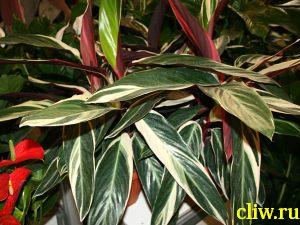 Строманта кроваво-красная (stromanthe sanguinea) марантовые (marantaceae)