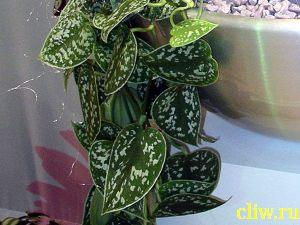 Сциндапсус расписной (scindapsus pictus) ароидные (aroideae)