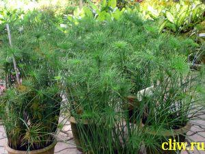 Циперус очереднолистный (cyperus alternifolis) осоковые (cyperaceae)