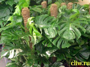 Монстера большая (monstera deliciosa) ароидные (araceae) variegata