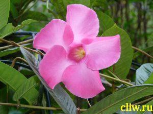 Дипладения сандера (dipladenia sanderi) кутровые (apocynaceae)