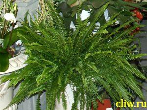 Нефролепис возвышенный  (nephrolepis exaltata ) нефролеписовые (nephrolepidaceae) boston