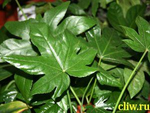 Фатсия японская (fatsia japonica) аралиевые (araliaceae)