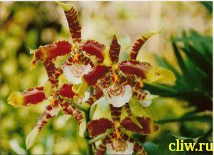 Одонтоглоссум большой (odontoglossum grande) орхидные (orchidaceae)